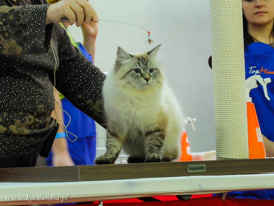 Heban at Kaunas Cat Show